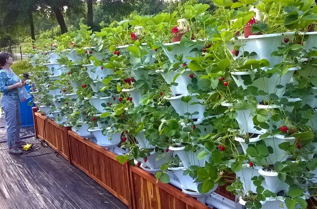 Brenda-with-Rooftop-Strawberry-Garden-1024x675