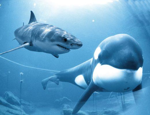 Orcas kill three great white sharks near Cape Town for their