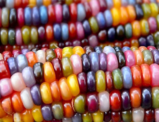 Glass Gem corn, a variety of rainbow-coloured corn, became an internet sensation in 2012 when a picture of a sparkling corncob was posted on Facebook.