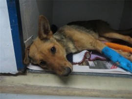 SAVAGE DELINQUENTS' VICTIM: She's on the mend and may soon be ready for adoption from the Animal Anti-Cruelty League.