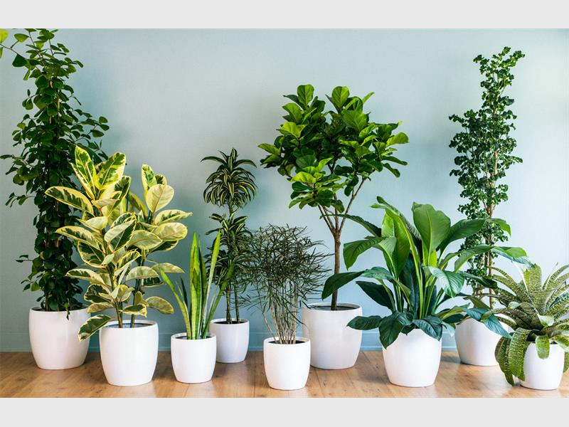 The power of indoor plants southern courier - Healthiest houseplants fresh air delight ...