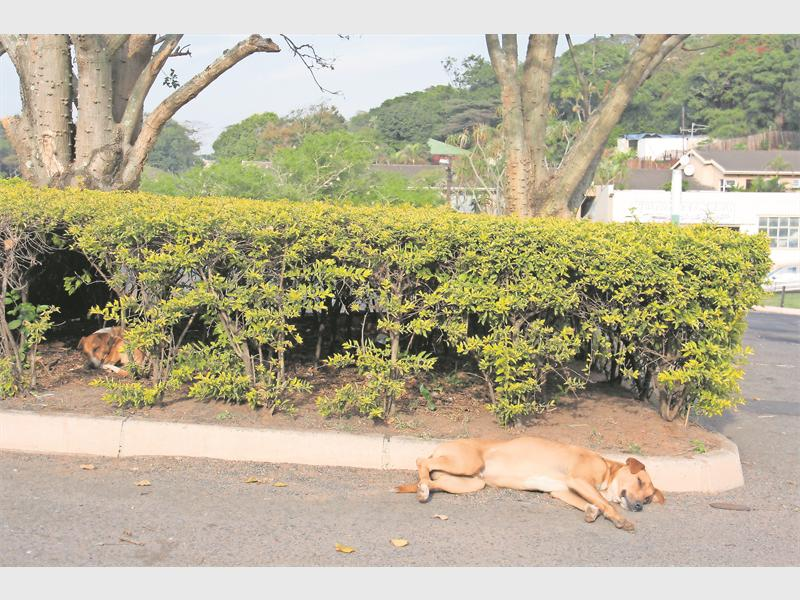 Lady and Liberty doze in Seadoone Mall's parking lot. Lady was removed by Toti SPCA in fear Liberty was getting too aggressive and a search is on to find her a new home.