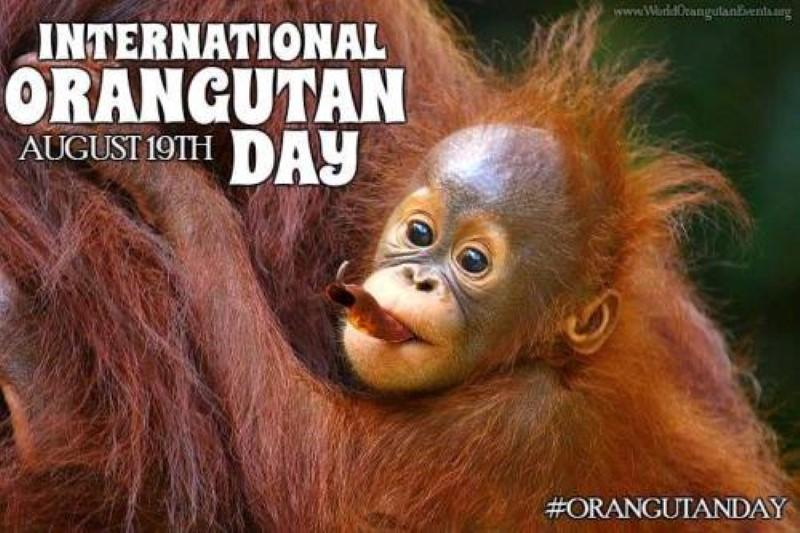 Image result for world orangutan day 2017