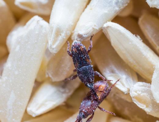 I ate weevils- will I be okay? | South Coast Sun