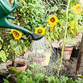 Sunflowers in your garden