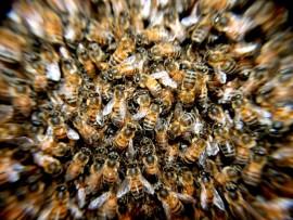 bees-276190 (Custom)
