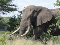 Bidzane, an emerging tusker in Kruger