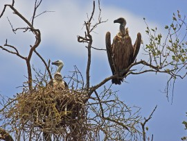 African-White-backed-Vulture_AdPullus_Balule-KNP_Andre-Botha