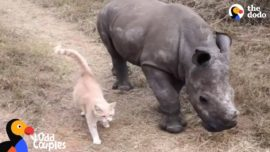 Cat and baby rhino are best friends