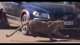 Leopard chases kudu antelope into tourist's car