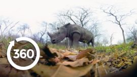 Rescuing Rhinos   Racing Extinction (360 Video)