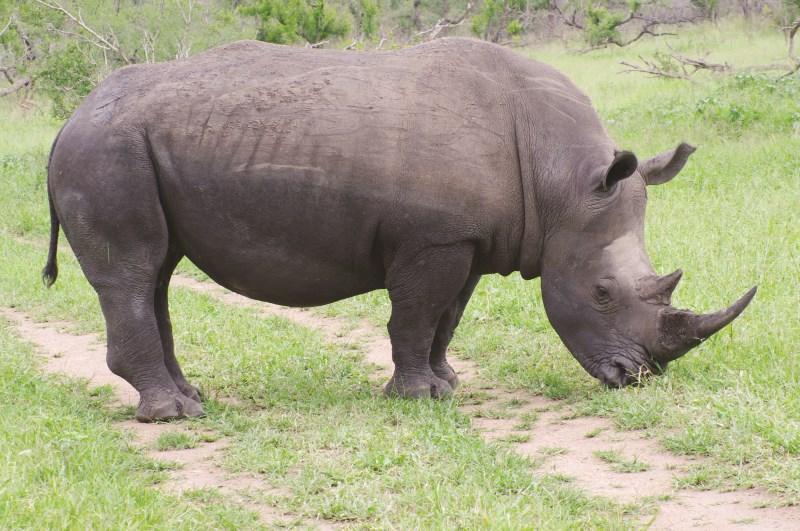 rhino (800 x 531)