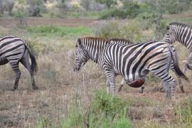 Zebra with ball size growth