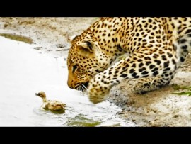 Baby bird wins battle against hungry leopard