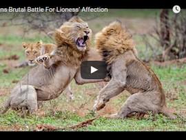lions battle