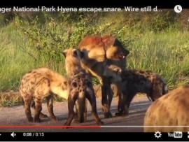 hyena video