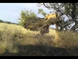 King of the jungle has an embarrassing slip-up