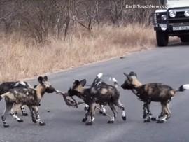 wild pups
