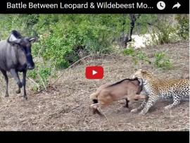 leopard wildebeest