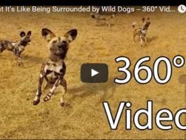 wild dog 360