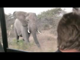 Guide deliberately provokes elephant in Kruger National Park