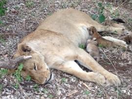 Die leeuwyfie van die Nasionale Krugerwildtuin het haar welpies veilig in 'n beskutte bamboesbos gebaar danksy die samewerking van 'n NKW-veldwagter, boere en die gemeenskap.