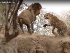 lion leopard