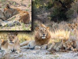 Die eens trotse Styx-trop van Sabi Sabi Wildreservaat in 2014. Brandsiekte het onder die trop uitgebreek. 'n Sterwende leeuwelpie by haar welpie wat gevrek het.