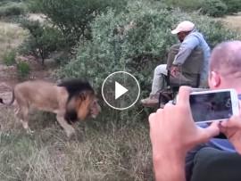 lions sniffs tracker feet