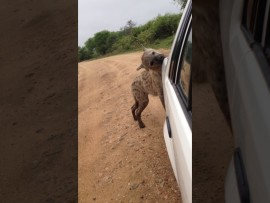 Nosy hyena tries to take a bite out of this car