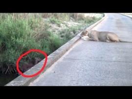 Video: Lion kills Impala giving birth