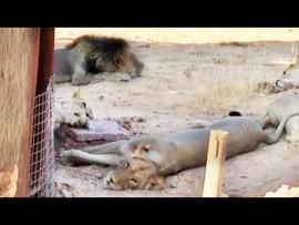 Video: Pride of Lions Block Entrance to Tourist's Toilet
