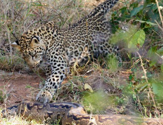 Video: Leopards attack giant Rock Python   Lowvelder