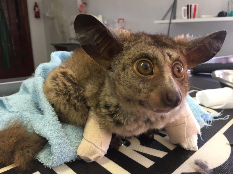 Bushbaby makes a steady recovery after being seriously ...