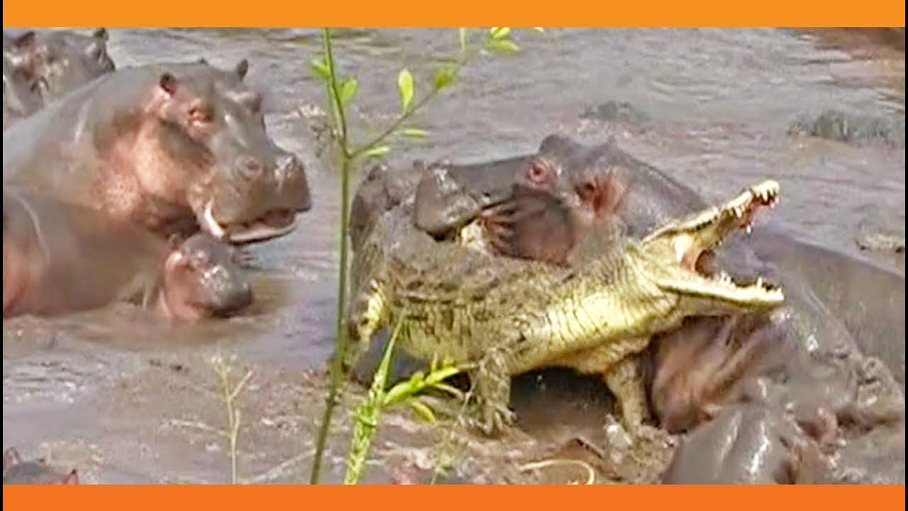 VIDEO: 30+ Hippos attack Crocodile | Lowvelder