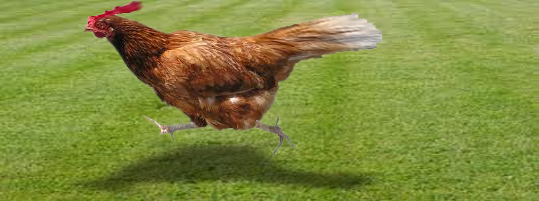 http://nelspruitpost.co.za/wp-content/uploads/sites/46/2014/11/Running-Chicken_edited-1.jpg