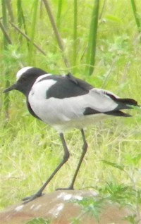 Blacksmith Plover is named after his 'tink, tink' call when he flies at you to protect a nest.