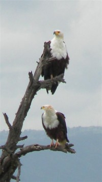 You're not a lucky fish if you see the Fish Eagle on the hunt.