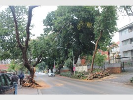 The huge old tree which fell across Lena Ahrens (Manning) Road had been cleaned of the street by mid morning.