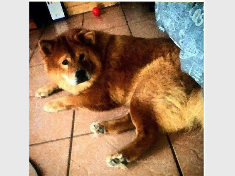 A Westville North family is appealing for help to find their beloved dog, Moochie.