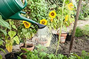 water sunflower