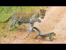Leopard cub gets slapped around by lizard