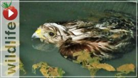 Hawk Rescued From Drowning