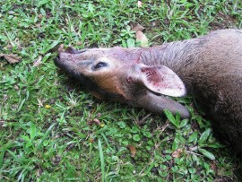 A pregnant duiker that was killed in the Assagay Valley on 21 February. PHOTO: Submitted