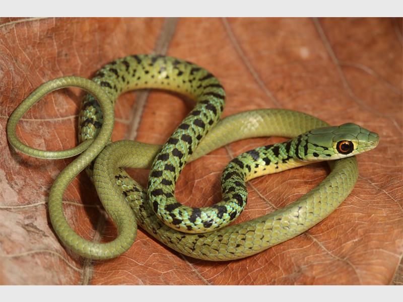 Snake Tales Durban S Most Common Snake The Spotted Bush