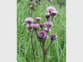 A pompom weed, Campuloclinium macrocephalum (Asteraceae). PHOTO: www.wrc.org.za.
