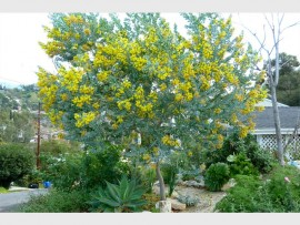 Pearl acacia or Acacia podalyriifolia (Fabaceae).