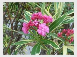 An Oleander plant or Nerium oleander (Apocynaceae).