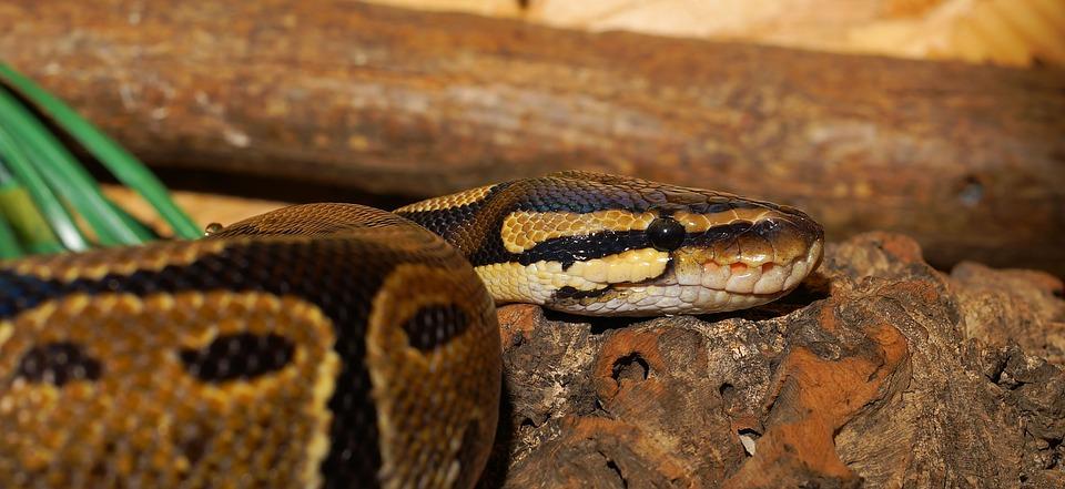 Ushaka Marine World confirms death of Pippa the python   Highway Mail