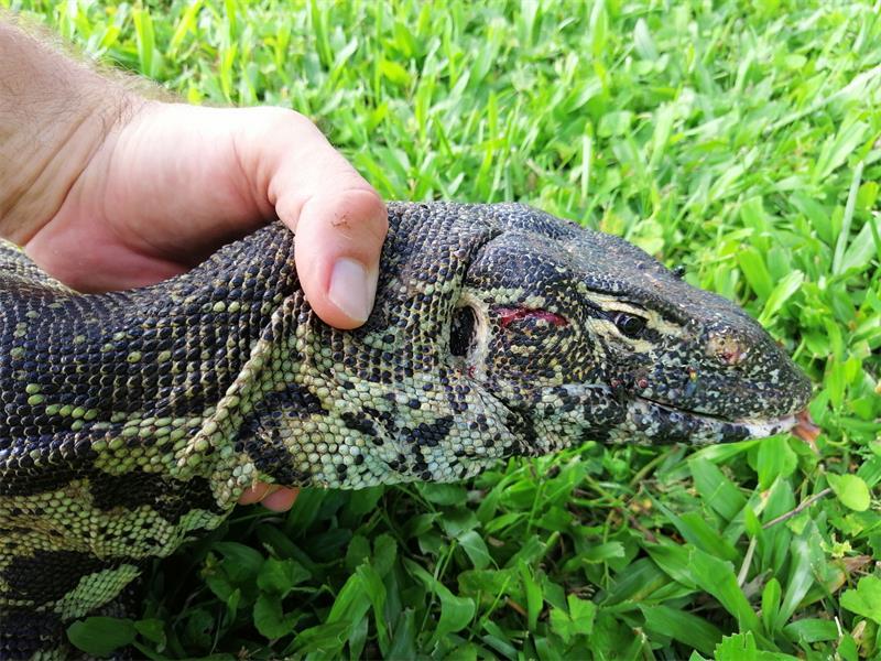 Durban snake catcher rescues massive injured Monitor Lizard